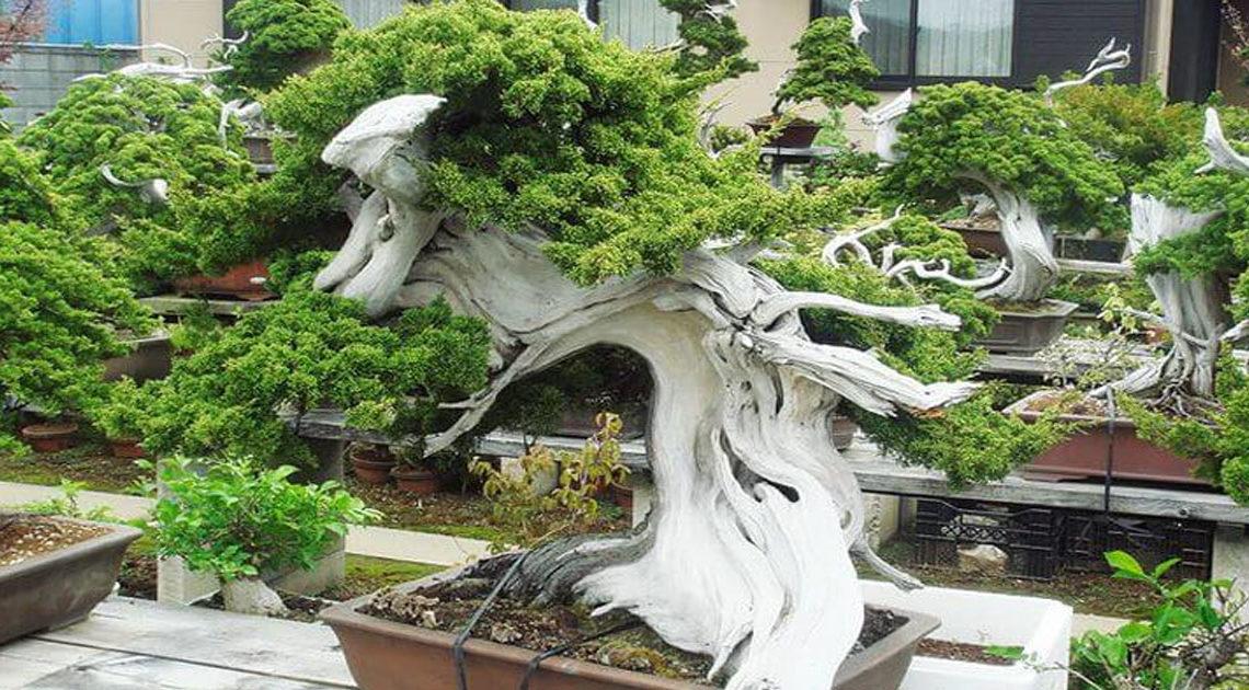 30+ самых красивых деревьев бонсай в мире