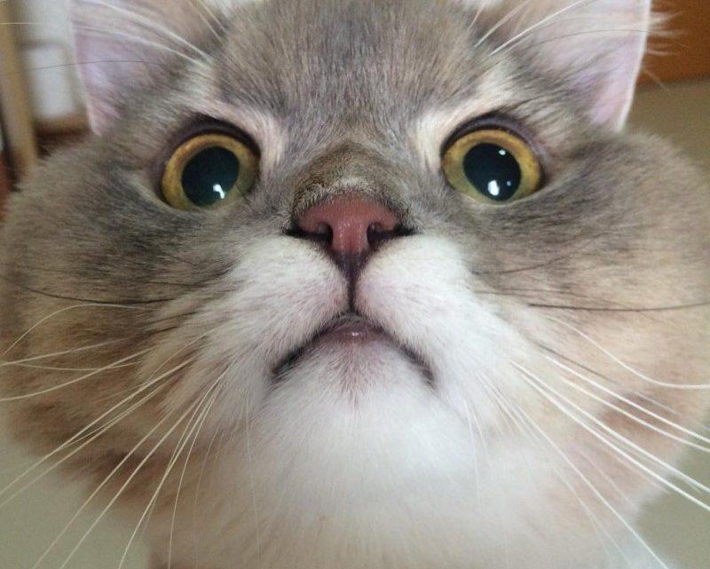 Самый популярный котик в Таиланде. Потрясающий пушистик.