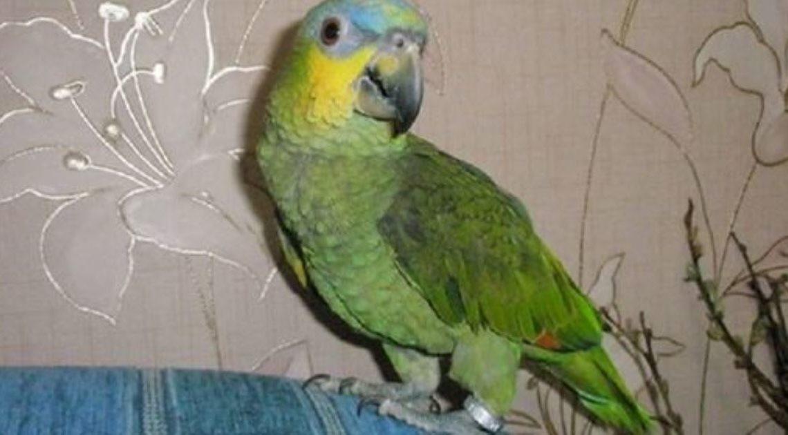 «Продам попугая»: объявление на авито.