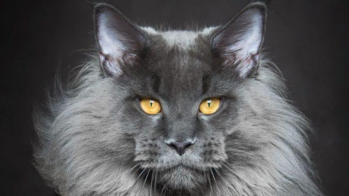 Мифические звери: фотограф показал миру царственную красоту мейн-кунов (35 фото)